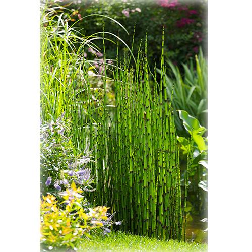 """Člankovita trava """"Equisetum japonicum"""""""