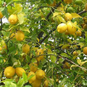 - Južno voće
